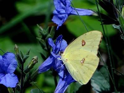 Sulphur Butterfly On Wildflower Art Print by Betty Berard