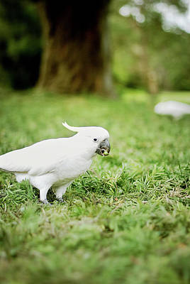 Cockatoo Photograph - Sulphur Crested Cockatoo by Helen Yin