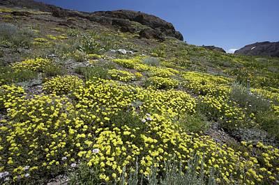 Eriogonum Photograph - Sulphur Flower (eriogonum Umbellatum) by Bob Gibbons