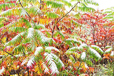 Rhus Photograph - Sumac And Snow  by Thomas R Fletcher