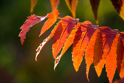 Photograph - Sumac In The Sun by Bill Pevlor