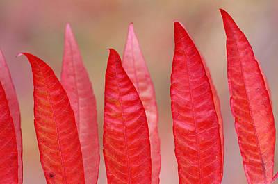 Sumac Leaves Rhus Coriaria In Fall Art Print by Mike Grandmailson