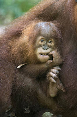 Sumatran Orangutan 2.5 Year Old Baby Art Print
