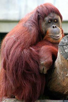 Sumatran Orangutan Art Print by Laurel Talabere