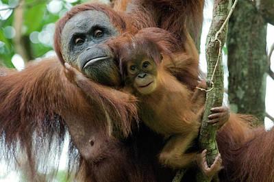 Sumatran Orangutan Pongo Abelii Mother Art Print