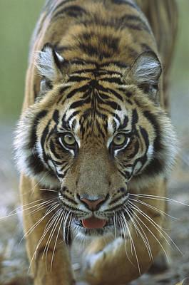 Sumatran Tiger Panthera Tigris Sumatrae Art Print by Zssd