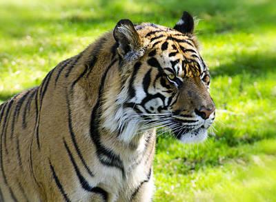 Photograph - Sumatran Tiger Portrait  by Saija  Lehtonen
