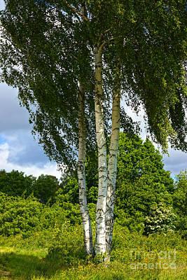 Photograph - Summer Birches by Lutz Baar