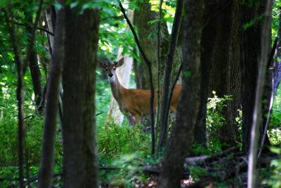 Photograph - Summer Buck 1 by Scott Hovind