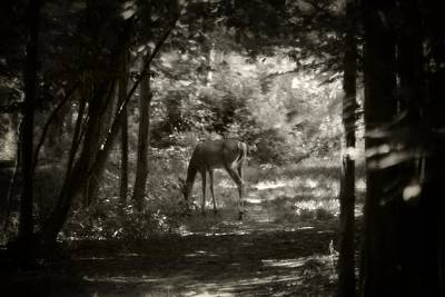 Photograph - Summer Buck 2 by Scott Hovind