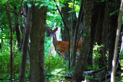 Photograph - Summer Buck 3 by Scott Hovind