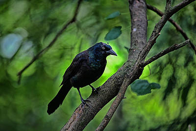 Photograph - Summer Grackle by Karol Livote
