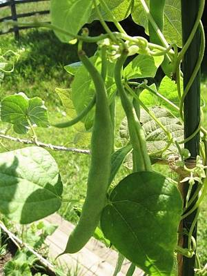 Photograph - Summer Green Beans by Deb Martin-Webster