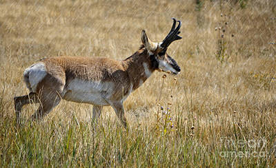 Photograph - Summer Pronghorn Rain by Donna Greene