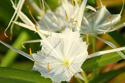 Photograph - Summer Snowflake by Jose Rodriguez