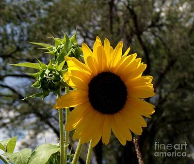 Photograph - Summer Sunflower by Donna Parlow