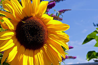 Photograph - Summer Sunflower by Tikvah's Hope