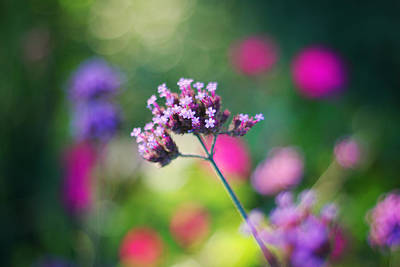 Fuchsia Photograph - Summer Verbena by Amy Tyler