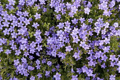 Summer Violet E Lilac Flower Camomile Original