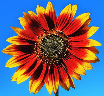 Sunflowers Royalty-Free and Rights-Managed Images - Summerflower by Benjamin Yeager