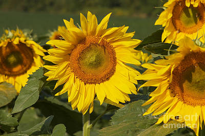 Art Print featuring the photograph Sun Flower by William Norton