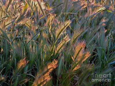 Photograph - Sun Kissed Grass by Mary Attard