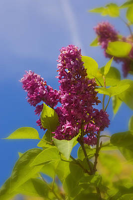 Photograph - Sun Kissed Lilac by Joann Vitali