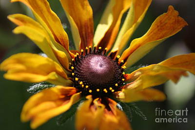 Sun On Flower Art Print by David Taylor