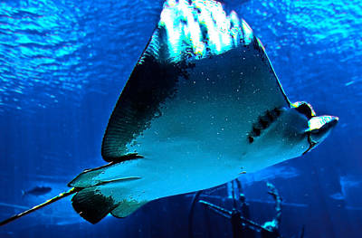 Spotted Eagle Ray Photograph - Sun Rays On A Stingray by DigiArt Diaries by Vicky B Fuller