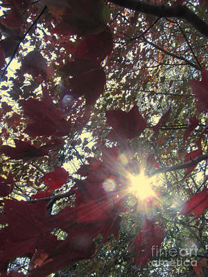 Photograph - Sunshine Through The Maple Tree by Donna Brown