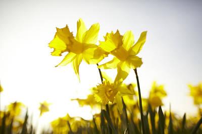 Close Focus Nature Scene Photograph - Sun Shining Behind Yellow Daffodils by Ron Bambridge