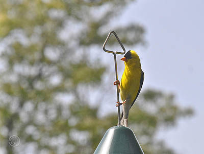 Photograph - Sunbath For A Goldfinch by Healing Woman