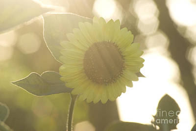 Photograph - Sunbathed Sunflower by Jim And Emily Bush