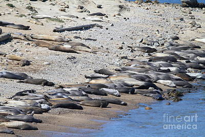 Sunbathing Elephant Seals Along A Beach At Point Reyes California . 7d16065 Art Print