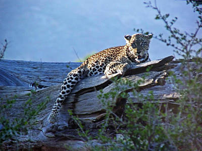 Photograph - Sunbathing Leopard by Tony Murtagh
