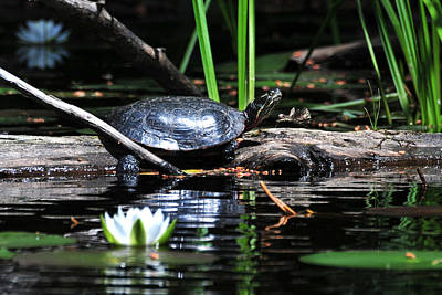 Photograph - Sunbathing Turtle by Peter DeFina