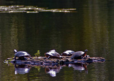 Photograph - Sunbathing Turtles by Michael Friedman