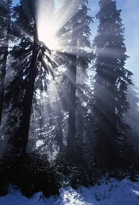 Sunbeams Through Pine Trees Art Print by Natural Selection Craig Tuttle