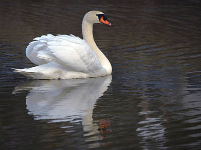 Pinion Photograph - Sunday Swan by Brian Stevens