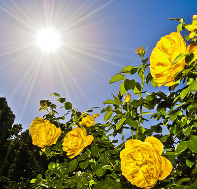 Sunflare And Yellow Roses Art Print by Amber Flowers