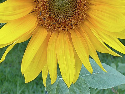Photograph - Sunflower 1006 by Guy Whiteley