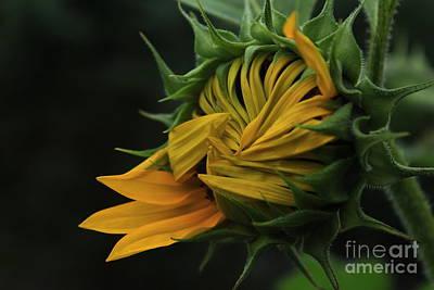Sunflower 2012 Art Print by Marjorie Imbeau