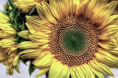 Sunflower 28 Art Print by Natasha Bishop