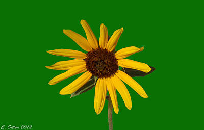 Photograph - Sunflower 3 by C Sitton