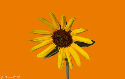Photograph - Sunflower 4 by C Sitton