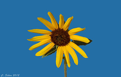Photograph - Sunflower 6 by C Sitton
