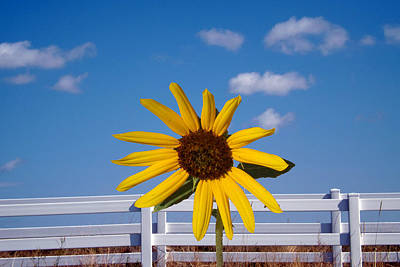 Photograph - Sunflower 7 by C Sitton