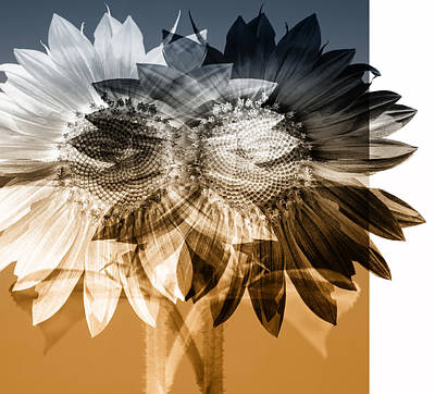 Photograph - Sunflower Abstract by Wayne Sherriff