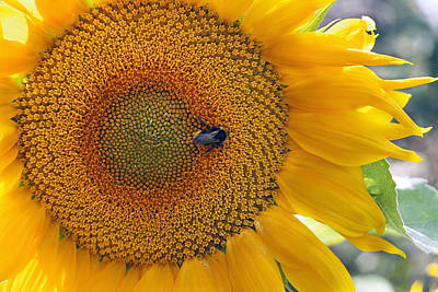 Sunflower And A Bumblebee Art Print by Aleksandr Volkov