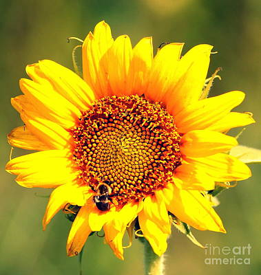 Sunflower And Bee Art Print by Paul  Wilford